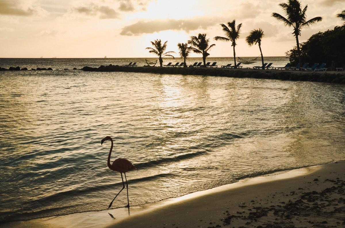 Flamingi na Arubie
