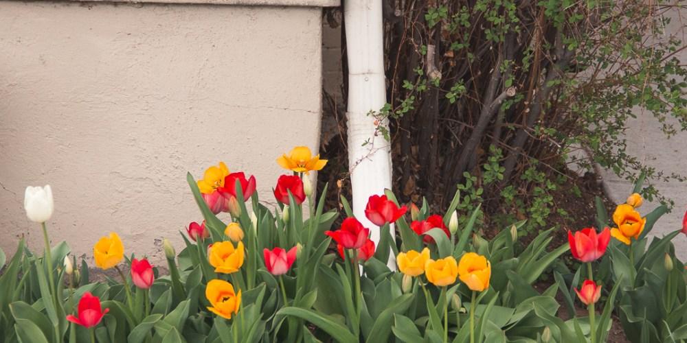 Tulips Denver