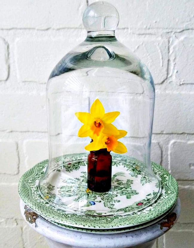 daffodil cloche display daffodils in vintage amber glass bottle under glass cloche
