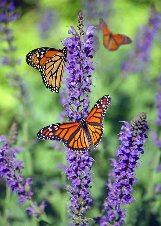 Butterlies on lavender plant