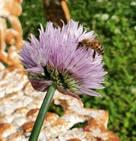 honeybee chives garden plants for honeybees