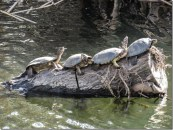 Western pond turtles in Napa River tributary. photo by Rusty Cohn