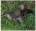River otters in Napa River tributary. Photo by Rusty Cohn