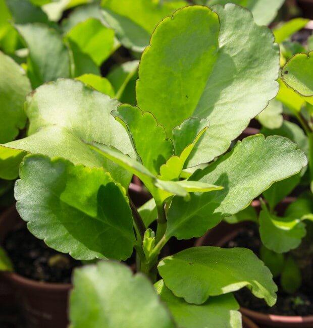 saião 1 - Panc: Plantas Alimentícias Não Convencionais - PANC'S