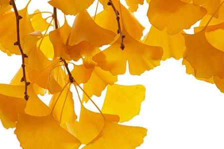 Ginkgo (Ginkgo biloba) leaves in autumn, Netherlands