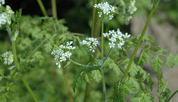 Chervil in bloom