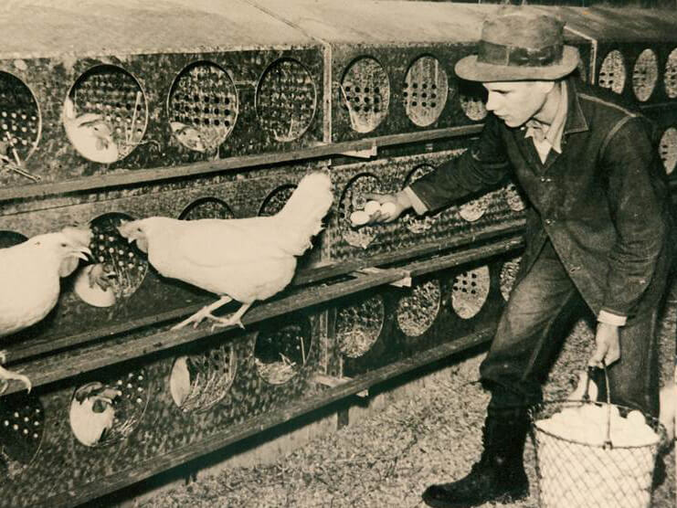 history about chicken