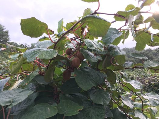 Kiwi fruits, in the tree