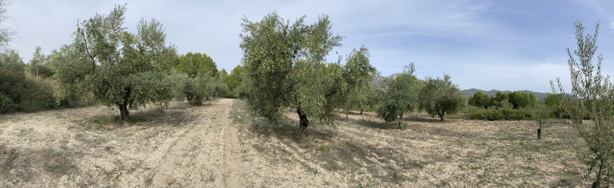 Panorama of olive trees