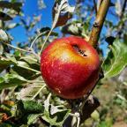 apple picking in julian + apple pie crumb bars