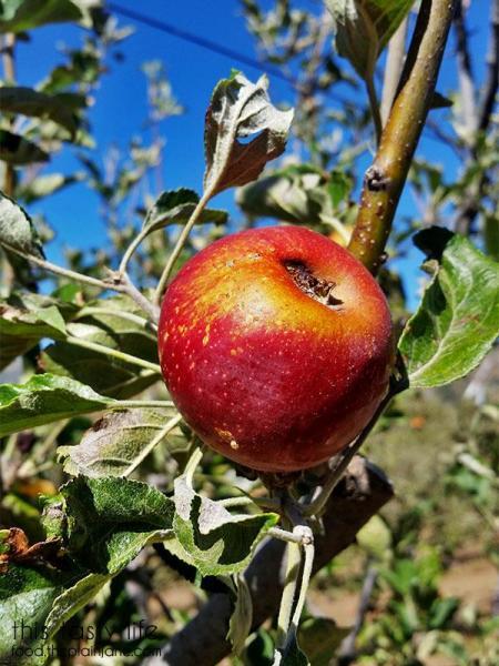 red-apple-on-tree