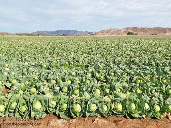 field-of-cabbage