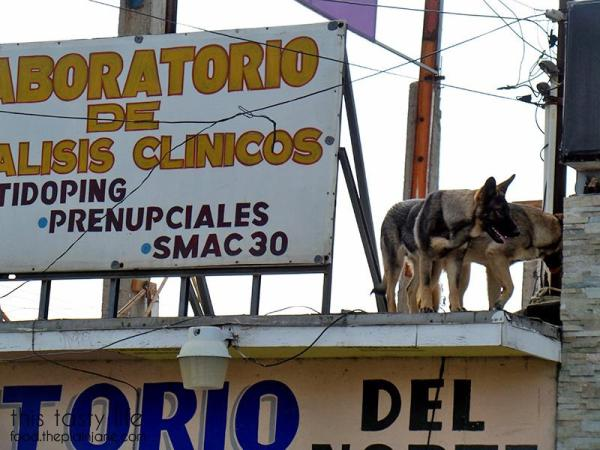 German Shepherds on the roof of a building in Mexico | This Tasty Life
