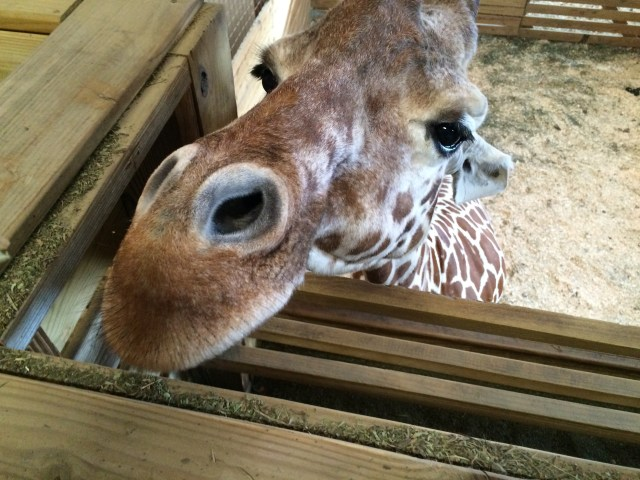 UPDATE ON APRIL THE GIRAFFE! Animal Adventure Park Giraffe Cam