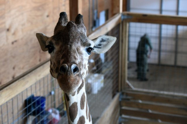 April the Giraffe Update; The count down to calf has begun!