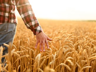 Farmer touching his crop with hand in a golden wheat field. Harvesting