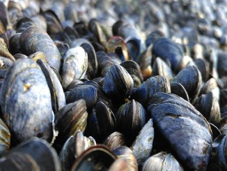 Mussels in sand