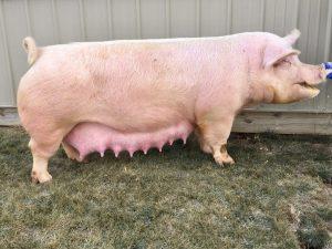 Pigs Vanilla Ice Cream