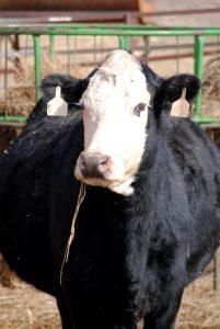 April Fools Cow