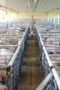 Moving one pig into the, currently empty, 'watch pen'. She was movin'!