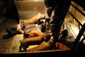 Weaned Pigs Oink Cinnamon