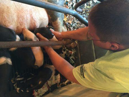 Pig Gets Help