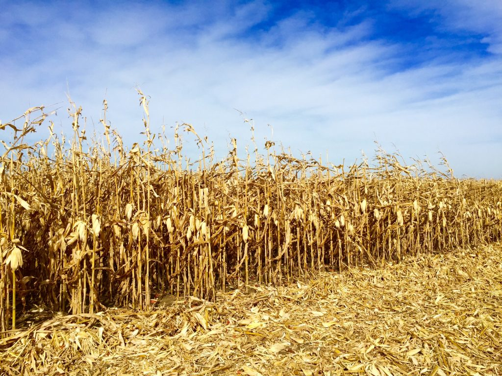 Harvest2015Corn