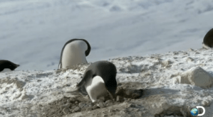 Stone Stealing Penguins