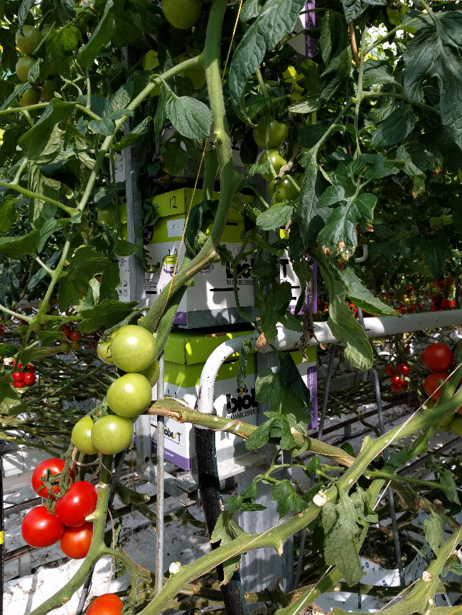 tomatoes with bumblebee houses