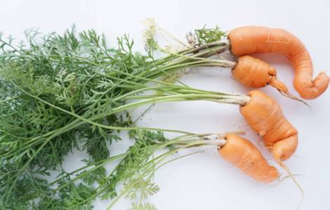 freshly harvested carrots, crinky and wobbly