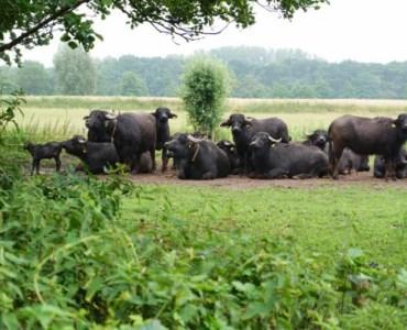 water buffalos relaxing in the grass