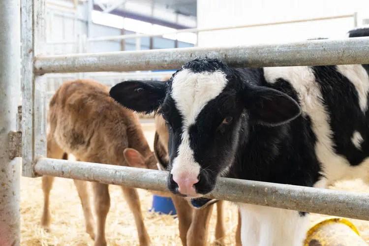 calf looking at you