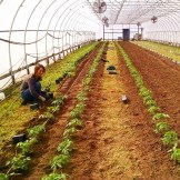 Karin planting tomatoes