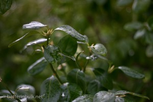 Rainy-day Bushes - aperture f/1.8