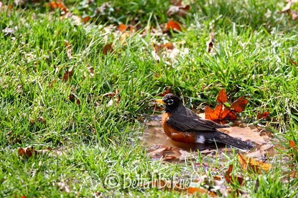 Robin after the rain