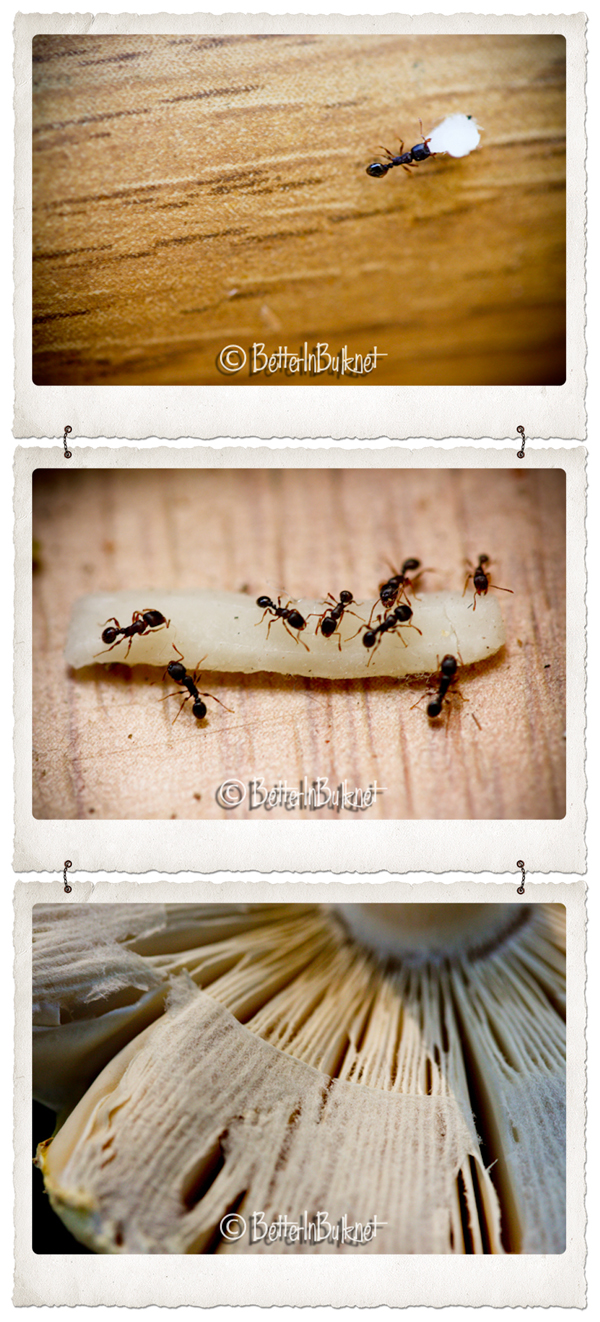 sugar_ants