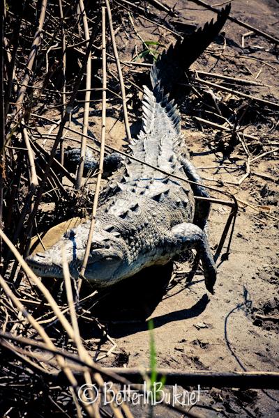 Crocodile walking in Costa Rica