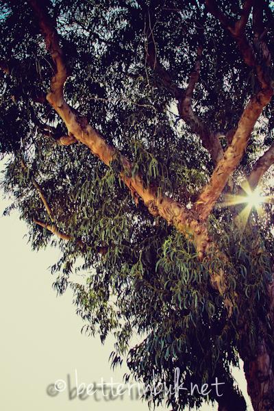 eucalyptus tree California