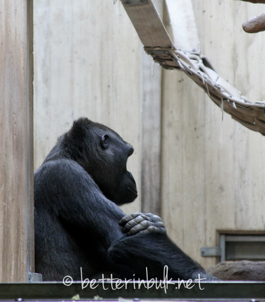 National Zoo - chimpanzee