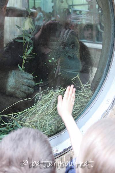 National Zoo - orangatan
