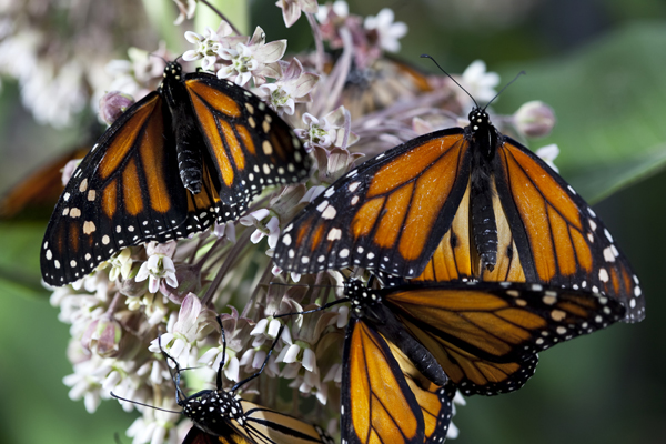 monarch Wings of life dvd