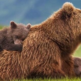 Disneynature's BEARS Activity Sheets #MeetTheCubs #DisneynatureBears