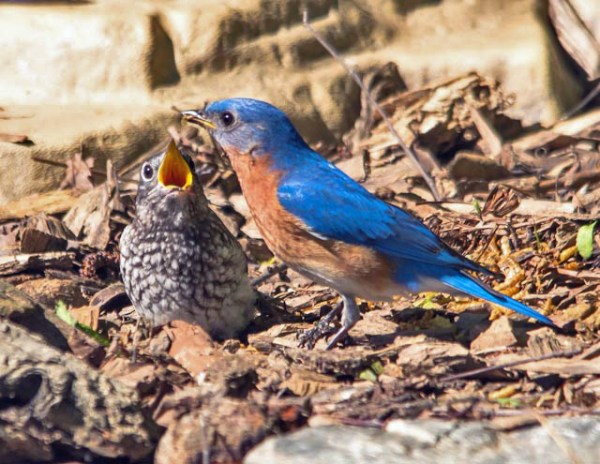 male bluebird feeding young - photo Bob Stapf