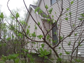 Fig trees starting to leaf out