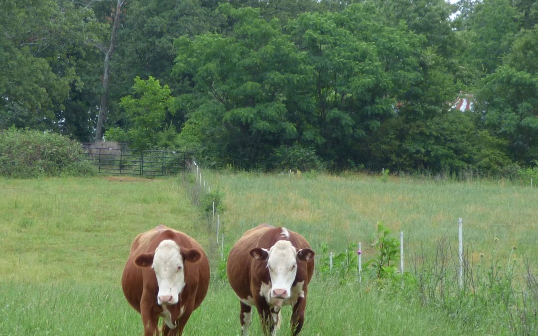 Meet The Locals: Carolina Grassfed Beef