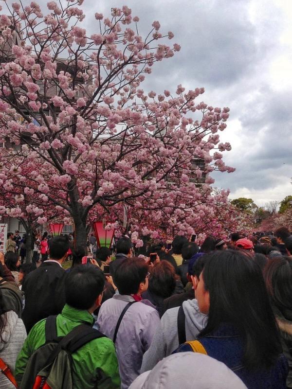 Foodicles Osaka Cherry Blossom 2