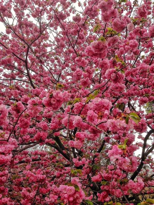 Foodicles Osaka Cherry Blossom 6