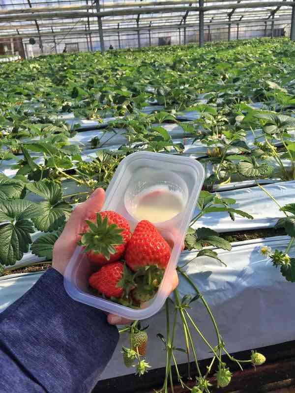 Foodicles Izu Strawberry 2