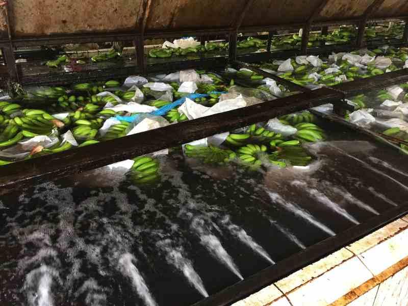 beach-hijo-resort-24-banana-plantation-tour