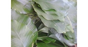 moimoi leaf